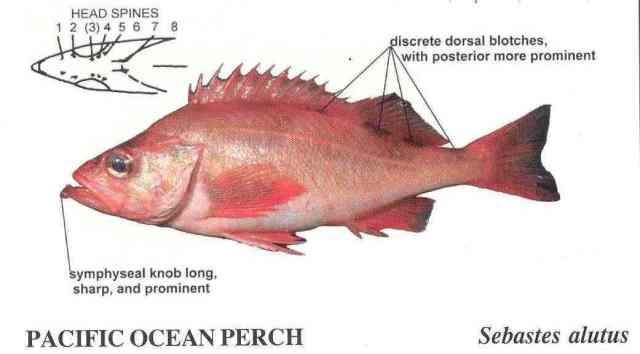 Pacific Ocean Perch from Orr's publication