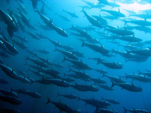 Albacore tuna, image from the World Wildlife Organization
