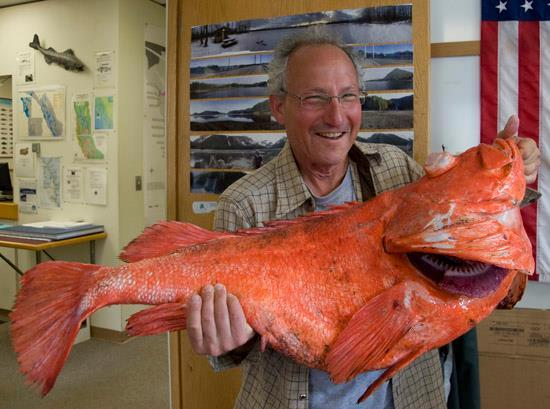 Giant rockfish ( James Poulson / Associated Press ) Sport fisherman Henry Liebman, from Seattle, holds his record-breaking shortraker rockfish at the Alaska Department of Fish and Game office.The fish measured 104 centimeters and weighed 39.08 pounds.