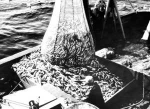 Large catch of Pacific hake, FWS Photo