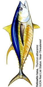 Yellowfin tuna, image from Pew Fisheries